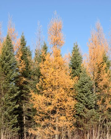 mariana: Larch (Larix laricina) and Spruce (Picea mariana) in Autumn Stock Photo
