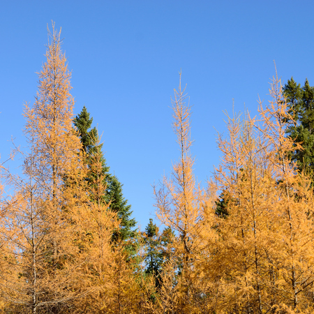 mariana: Eastern Larch (Larix laricina) and Black Spruce (Picea mariana) Forest