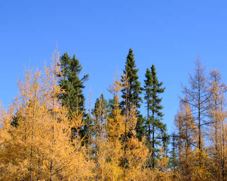 mariana: Tamarack (Larix laricina) and Black Spruce (Picea mariana) Forest Stock Photo