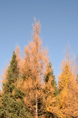 picea: Eastern Larch (Larix laricina) and Black Spruce (Picea mariana)