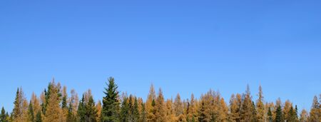 mariana: Tamarack (Larix laricina) and Spruce (Picea mariana) and Blue Sky