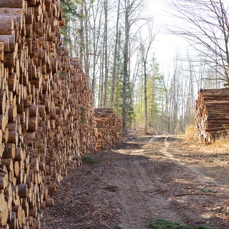 logging: Norway Pine (Pinus resinosa) Piled Along Logging Road in Fall Stock Photo