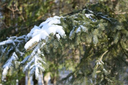 picea: Snow on White Spruce (Picea glauca) Branch