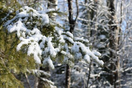 picea: Snow Covered White Spruce (Picea glauca) Branch