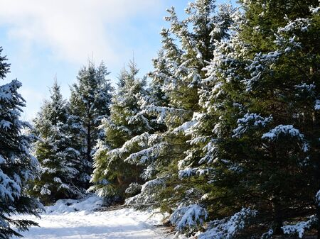picea: Snow Covered White Spruce (Picea glauca)