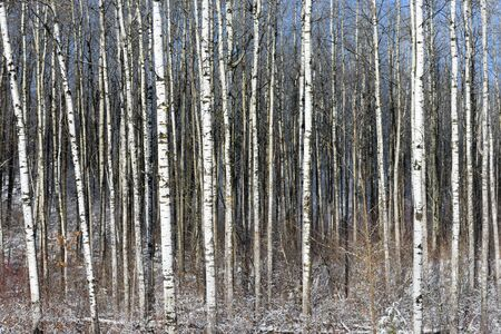 populus tremuloides: Trembling Aspen (Populus tremuloides) in Winter