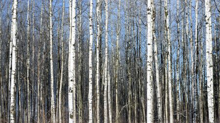 Quaking Aspen (Populus tremuloides) in Winter Stock Photo