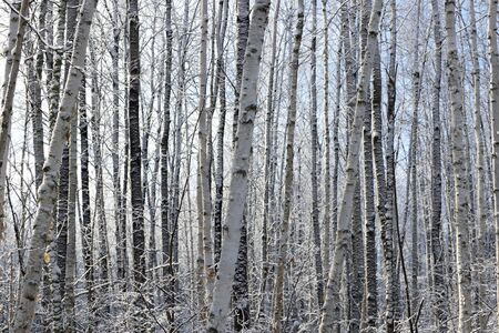 Aspen (Populus tremuloides) and Birch (Betula papyrifera) in Winter