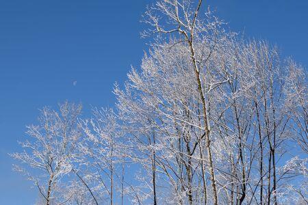 populus tremuloides: Frost Covered Aspen (Populus tremuloides)