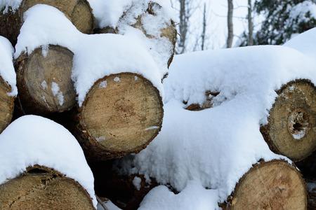 basswood: Snow Covered Basswood (Tilia Americana)