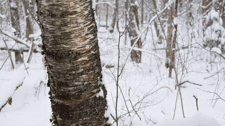 betula: Winter Birch (Betula papyrifera) Stock Photo