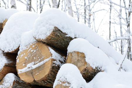 saccharum: Sugar Maple Acer saccharum in Winter