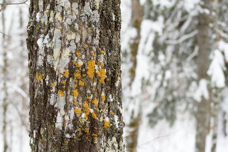 tilia: Basswood (Tilia Americana) in Winter