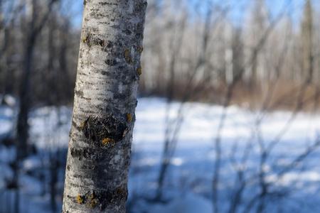 populus tremuloides: Trembling Aspen Populus tremuloides in Winter