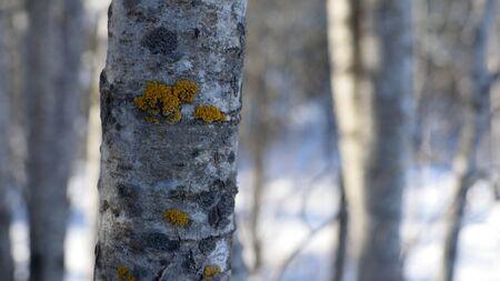 populus tremuloides: Aspen Populus tremuloides in Winter