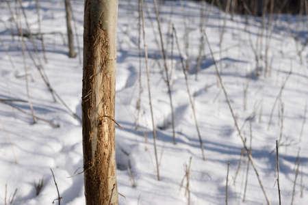 aspen tree: Whitetail Deer Aspen Tree Rub