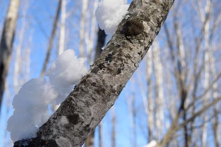 populus tremuloides: Snow on Aspen Populus tremuloides