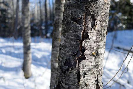 populus tremuloides: Winter Aspen Populus tremuloides