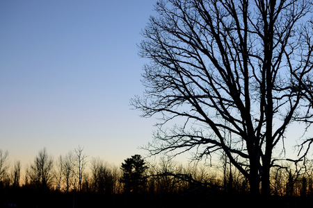 quercus: Bur Oak Quercus macrocarpa silhouette Stock Photo