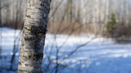 Quaking Aspen Populus tremuloides in Winter