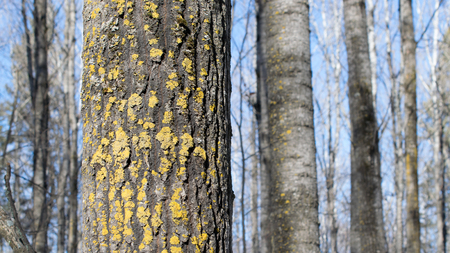 trembling: Yellow Lichen on Trembling Aspen