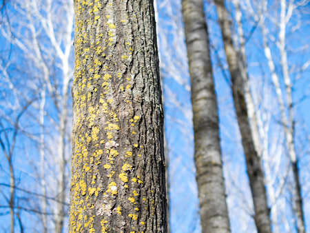 Quaking Aspen Stand In Winter
