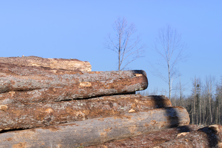 pile of logs: Larch Logs in Pile