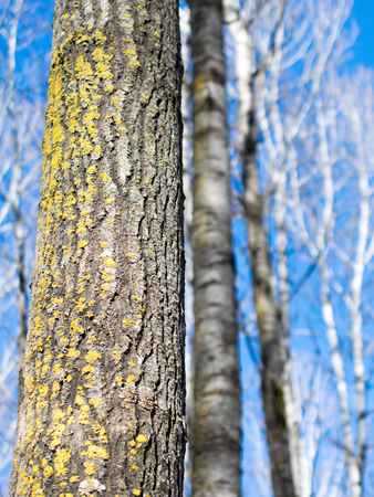 Lichen Covered Aspen in Winter