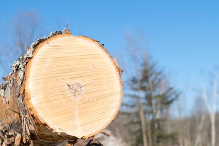 Paper Birch Harvest