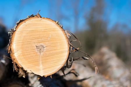 biomasa: Detalle del registro del abedul