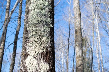 Aspen Forest in Winter 版權商用圖片