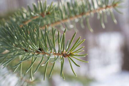 Closeup of Balsam Fir Needles 写真素材