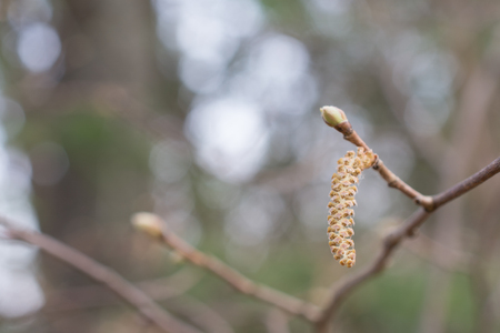 Hazel Catkin and Bud in Spring