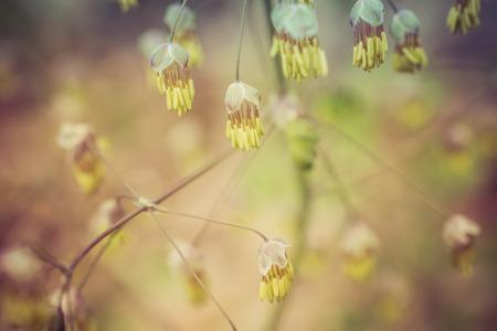 Early Meadow Rue Flowers