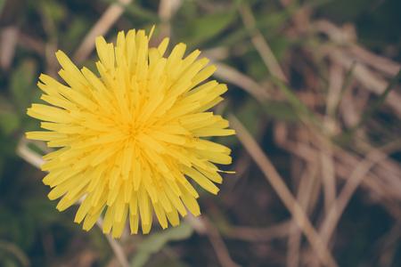 noxious: Dandelion Up Close