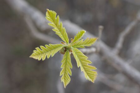 Oak Leaves in Spring
