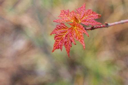 acer: Closeup of Spring Red Maple