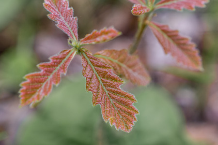 Closeup of New Bur Oak Leaves
