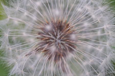 Closeup Dandelion Capitulum