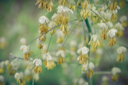 Flowering Early Meadow Rue Stock Photo