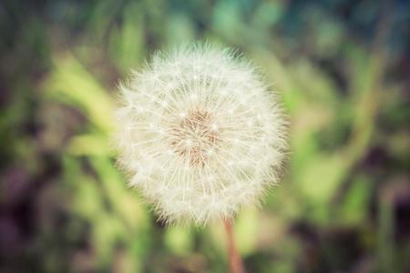 Summer Dandelion Capitulum
