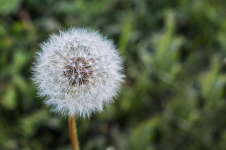 invade: Dandelion Gone to Seed