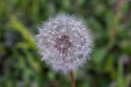 Dandelion Capitulum
