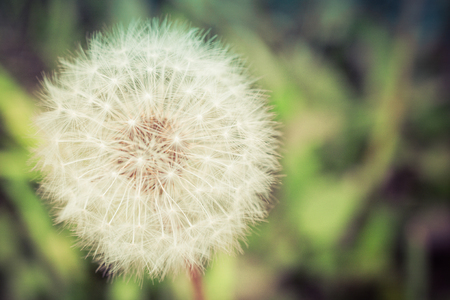 invade: Summer Dandelion Seed Head