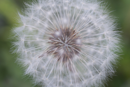 invade: Dandelion Seed Head Up Close