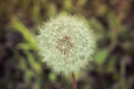 Summer Dandelion Seedhead