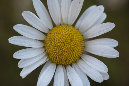 Oxeye Daisy Close Detail