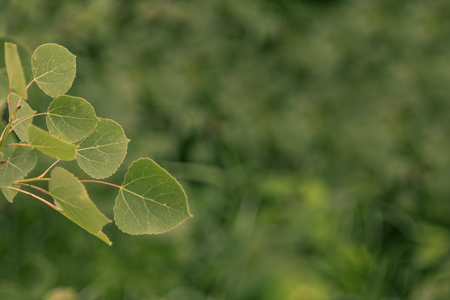 Quaking Aspen Leaves in Summer Stock Photo