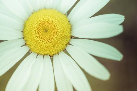 Closeup of Ox-eye Daisy
