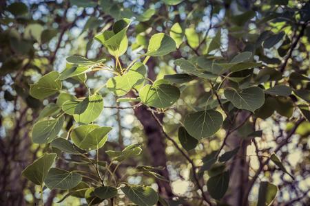 Aspen Leaves in Summer 版權商用圖片